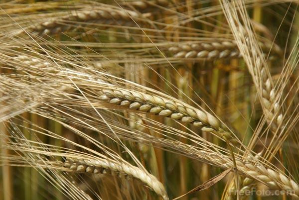 [Image: barley.JPG]
